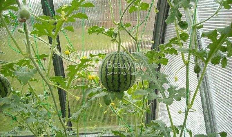 Выращиваем арбузы в теплице на даче