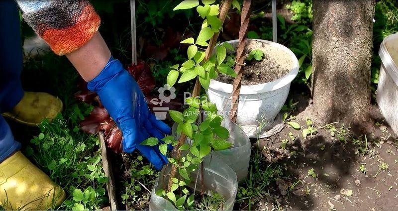 Подкормка клематиса для пышного и обильного цветения