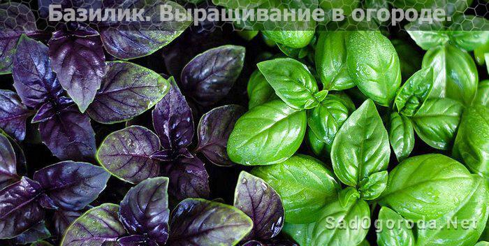 Какие виды зелени стоит посадить у себя в огороде