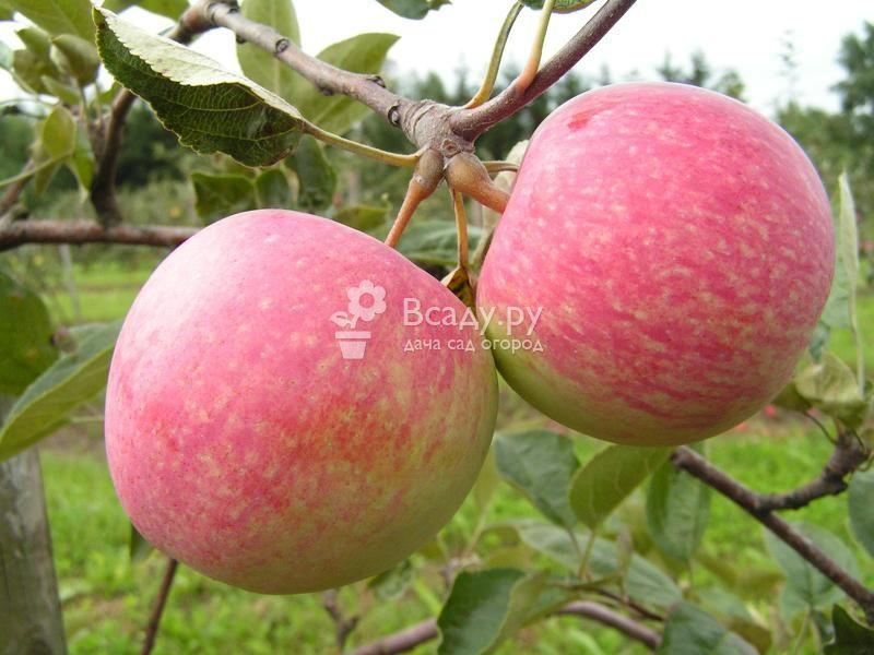 Сорта яблонь фото с названием и описанием