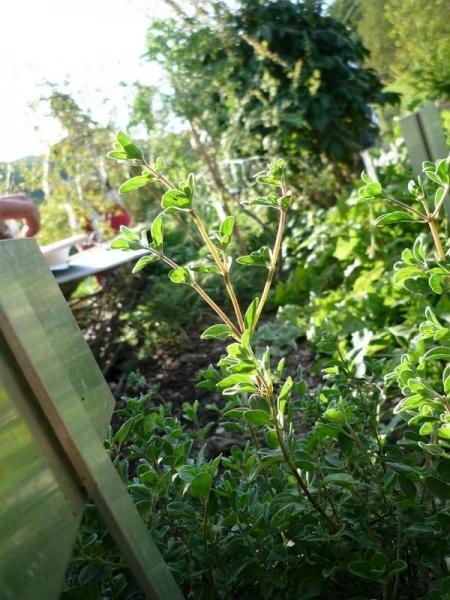Как выращивать майоран на даче и где его можно применить?