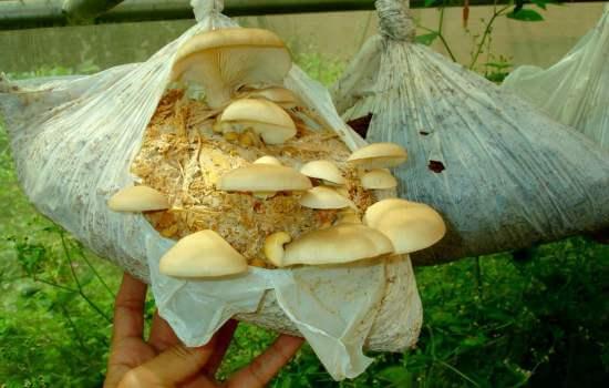 Купить грибницу для выращивания в домашних условиях