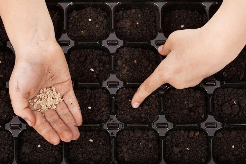 Как правильно выращивать комнатные помидоры?