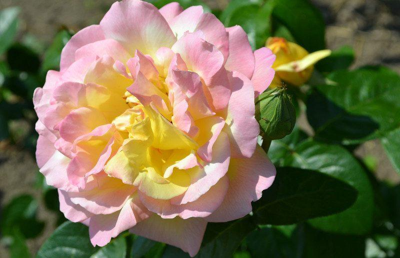 Чайно-гибридная красавица Глория Дей — самая популярная роза XX века