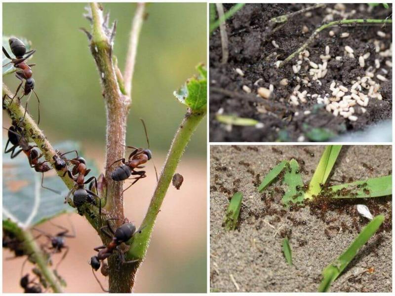 Применение борной кислоты от муравьев в огороде, в доме и в квартире. Простые рецепты