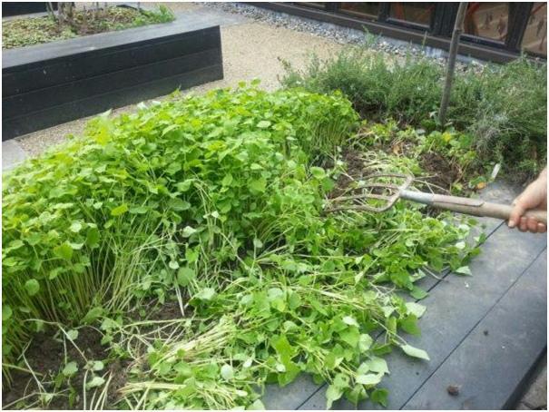 Горчица в огороде применение от вредителей