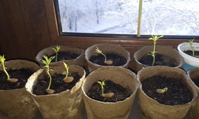 Как вырастить персик или нектарин из косточки и будет ли урожай