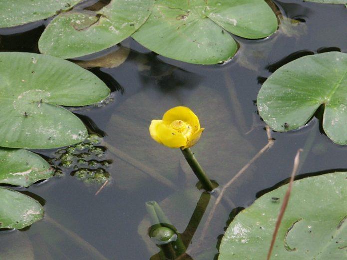 Лотос, кувшинка (водяная лилия), кубышка: сходства и различия