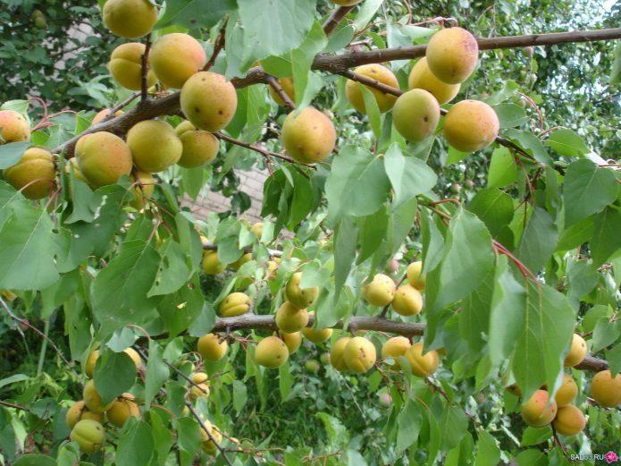 Морозостойкий абрикос Медовый – подарок с Урала
