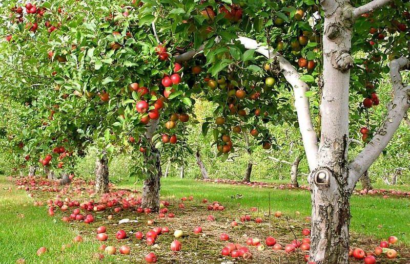 Народная мудрость: почему хозяин сада не должен спиливать яблоню самостоятельно