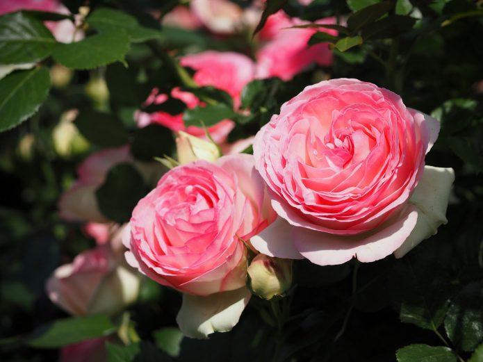 Роза Пьер де Ронсар: воплощение французского шарма