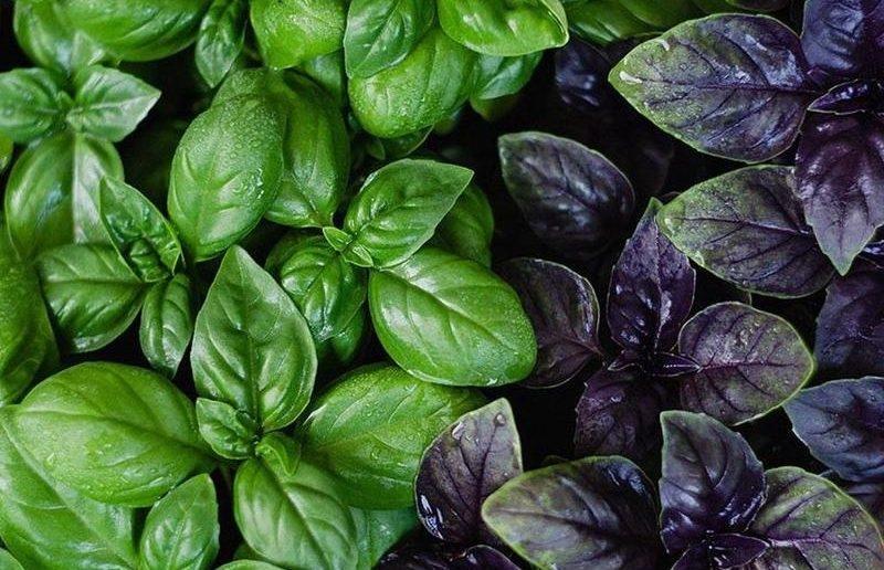 В чём разница между зелёным и фиолетовым базиликом, какой полезнее