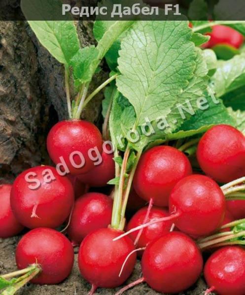 Лучшие сорта семян редиса для открытого грунта: ранние, крупноплодные, среднего срока созревания
