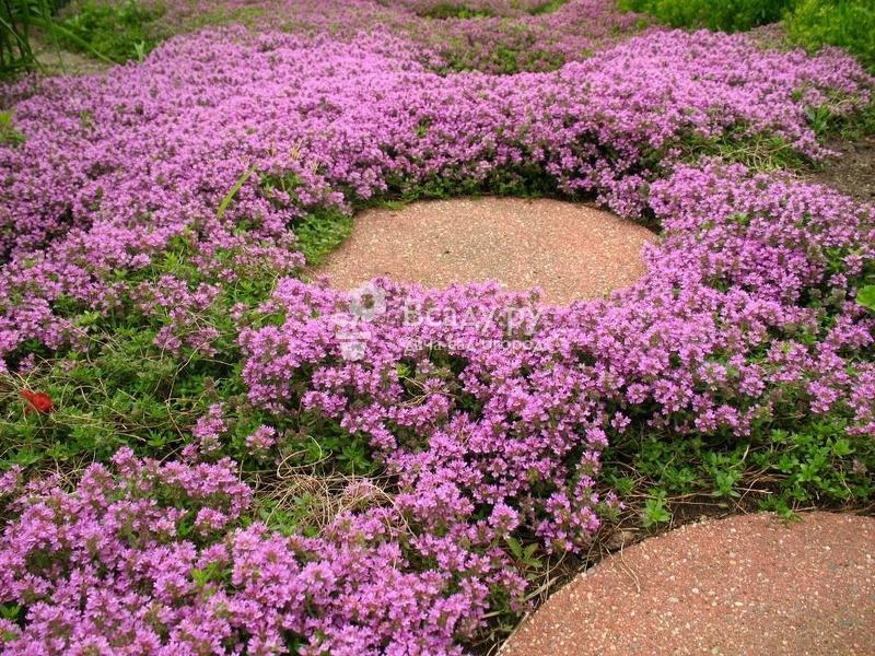 Как цветет облепиха в картинках того, наташа