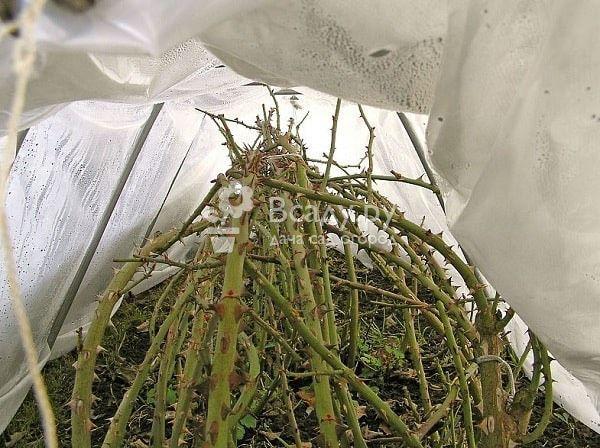 Снимаем укрытие и реанимируем розы после неудачной зимовки