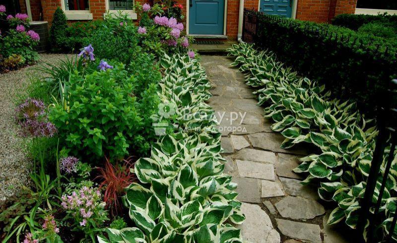 Создаем прекрасную аллею из хосты вдоль садовых дорожек