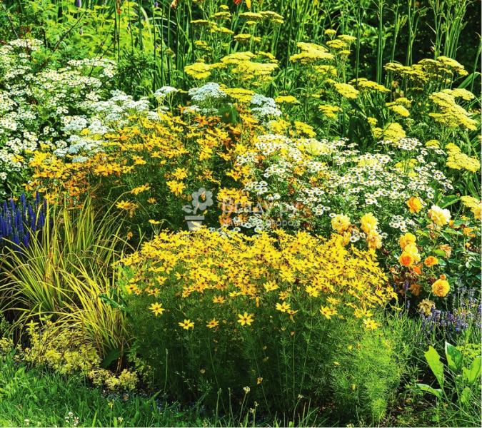 Тысячелистник в дизайне сада - лучшие сорта для создания композиций