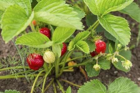 Обработка клубники весной от болезней и вредителей: как и чем