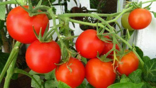 Cорта помидор для открытого грунта урожайные