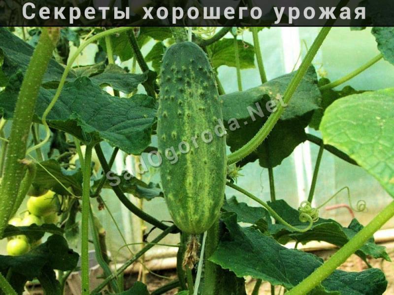 Как вырастить хороший урожай огурцов в открытом грунте