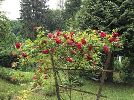 Опоры для плетистых роз своими руками