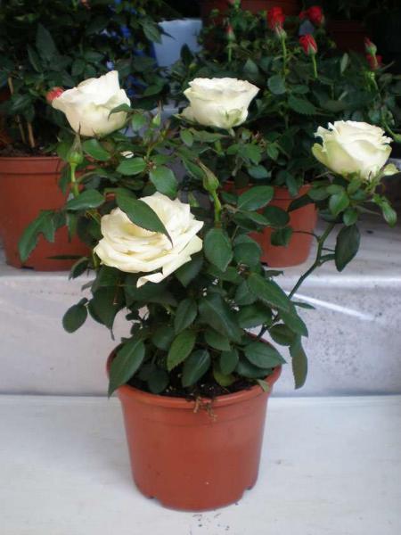 Как правильно подготовить комнатную розу к зиме