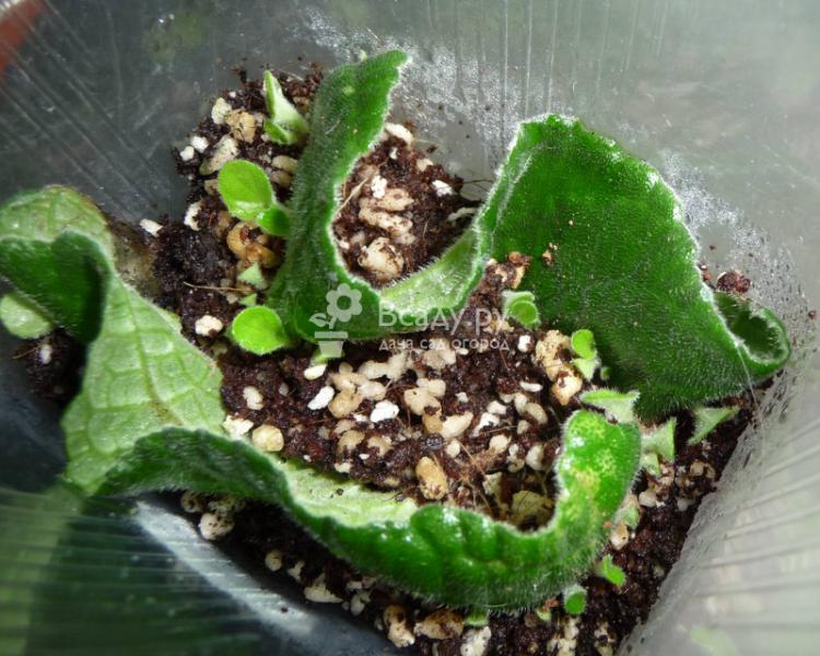 Выращиваем и размножаем глоксинию в домашних условиях