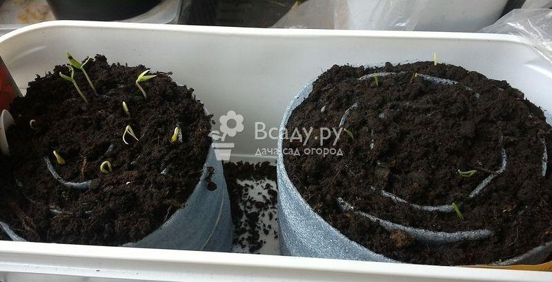 Три способа выращивания крепкой капустной рассады