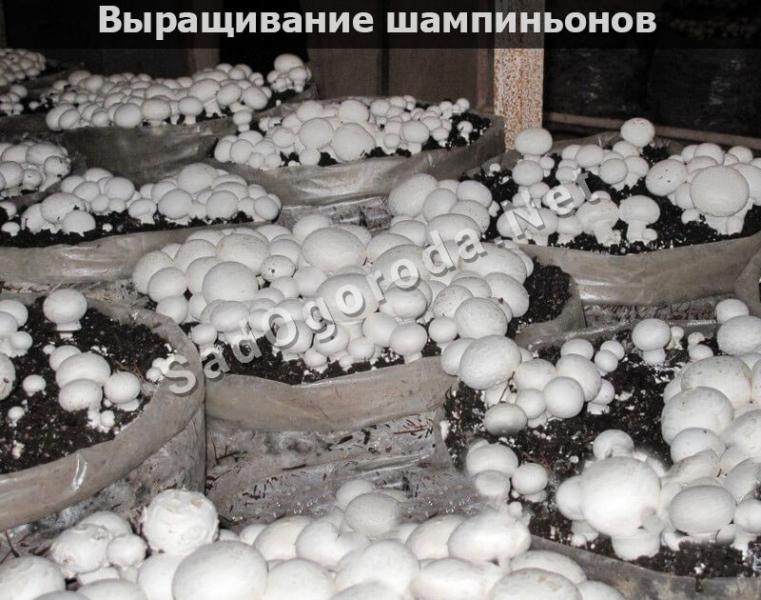 Выращивание грибов на даче и в огороде: пошаговая инстуркция