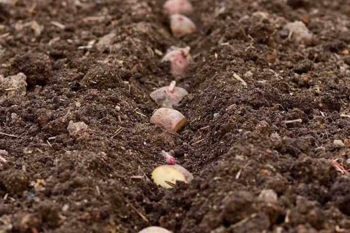 Междурядье при посадке картофеля, какое лучше