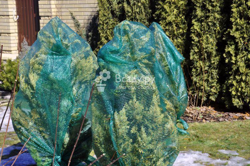 Выявление и решение весенних проблем с хвойниками и розами после зимы