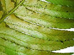 Как бороться с трипсами на рассаде, на комнатных растениях