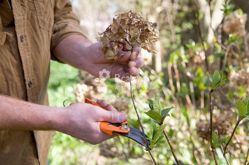 Виды садовых гортензий и правила ухода за ними