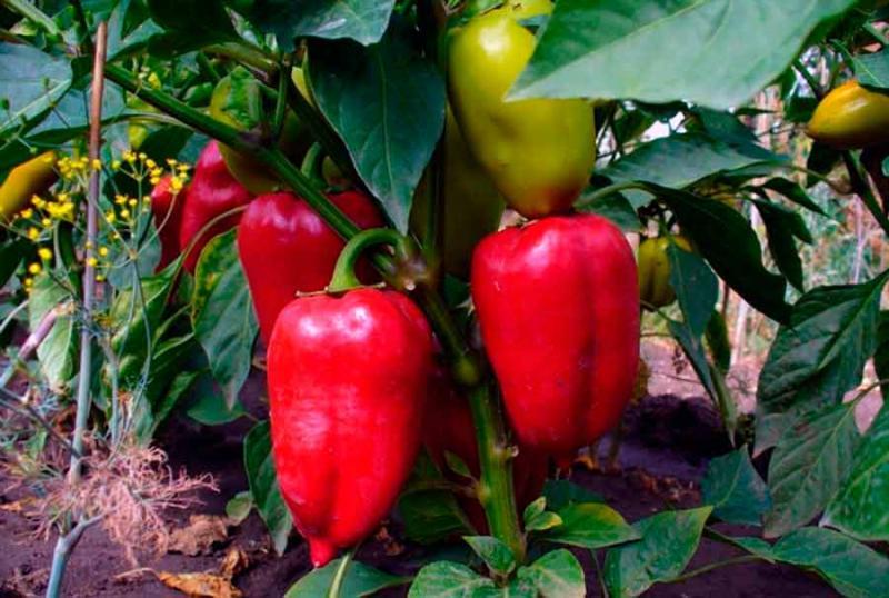 Перец сладкий – как правильно ухаживать и когда лучше заниматься посадкой
