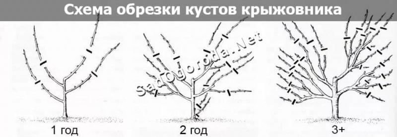 Техника выращивания крыжовника, секреты правильного ухода за растением
