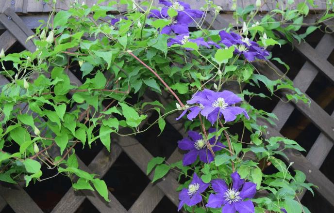 Клематис - растения для вертикального озеленения