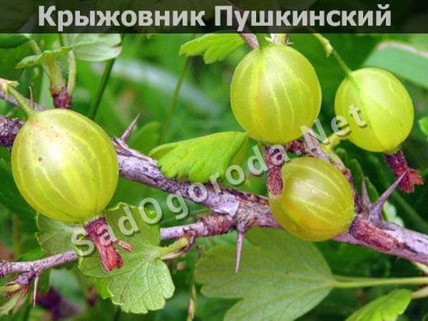 Крыжовник обыкновенный Пушкинский - описание сорта, характеристики