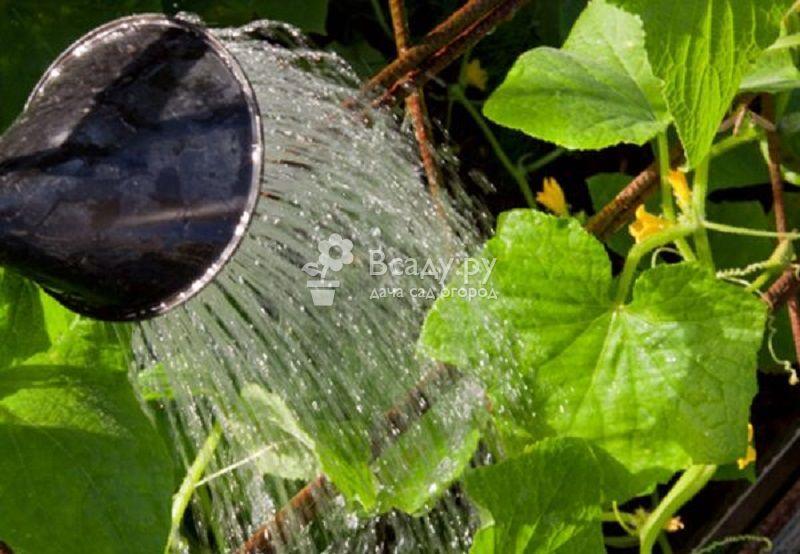 Желтеют листья огурцов - используйте народные средства
