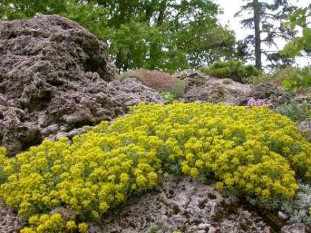 Алиссум - выращивание из семян. Когда сажать?