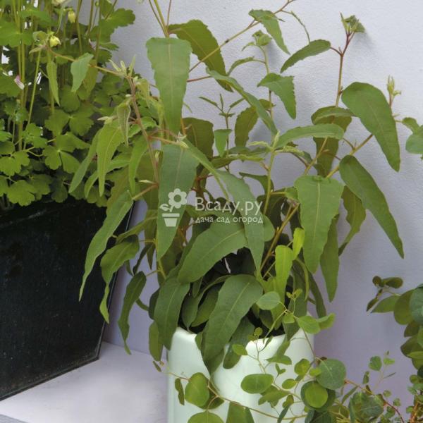 Эвкалипт лимонный - выращивание из семян, применение в медицине