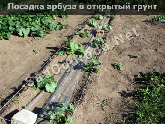 Как выращивать арбузы на даче в открытом грунте, когда собирать, видео