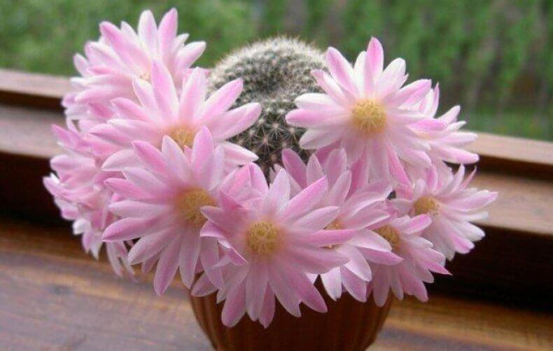 Как нужно правильно поливать кактус дома, какой водой и как часто