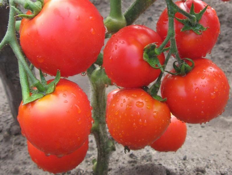 Удобрение из крапивы, как приготовить и применять