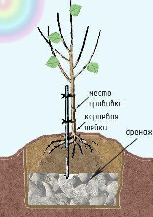 Абрикос для средней полосы: обзор районированных сортов и нюансы посадки