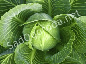 Выращивание и уход капусты в открытом грунте