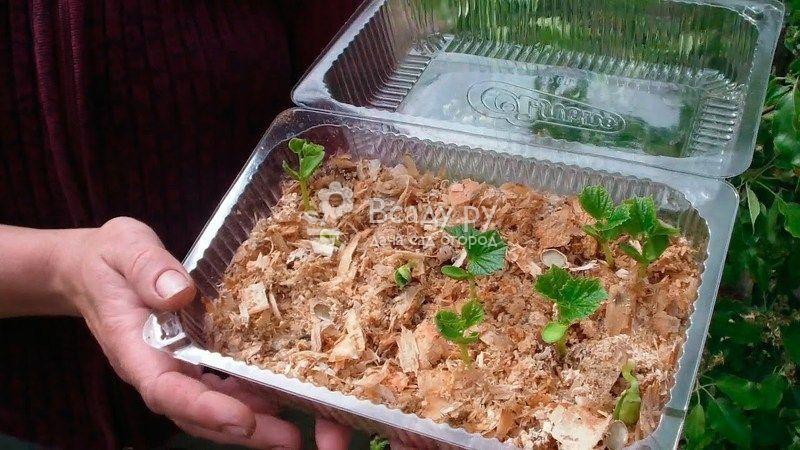 Выращиваем рассаду огурцов в опилках безземельным способом