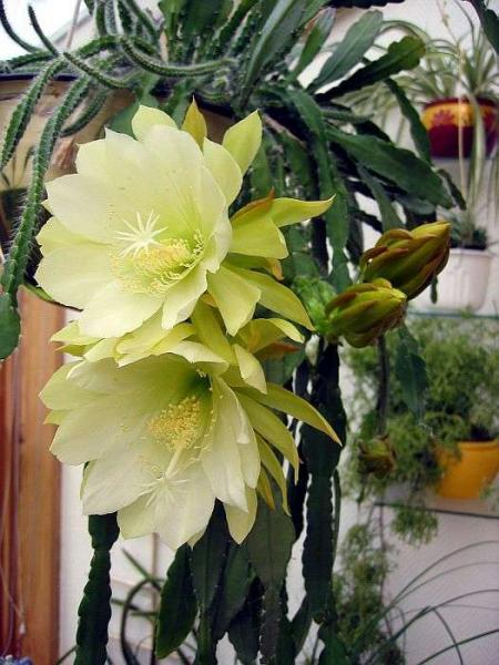 Комнатные кактусы: особенности распространённых видов + фото