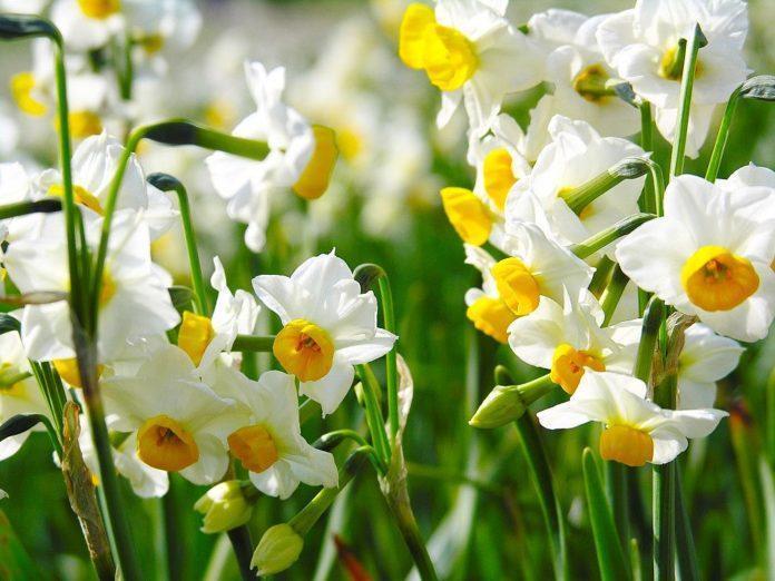 Нарциссы - когда лучше всего высаживать луковицы