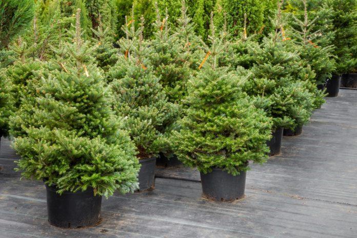 Ландшафтный дизайн: новогодняя елка в вазоне