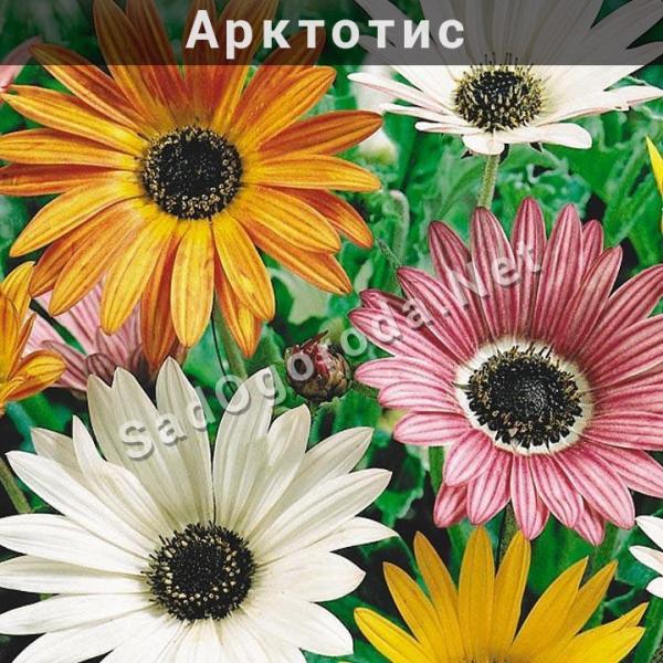 Арктотис фото Выращивание из семян Посадка и уход